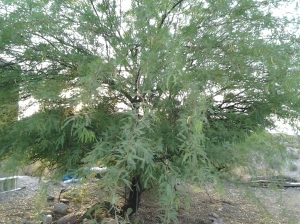 Native Arizona Trees, Mesquite