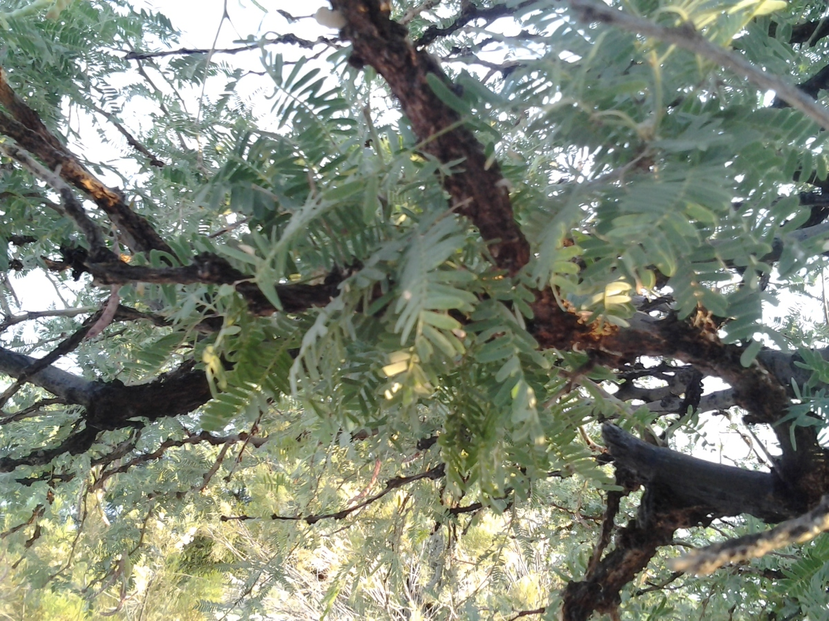 Native mesquite tree