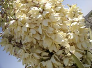 large stalks with cream white flowers