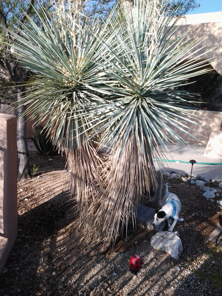 yucca cactus tree with spike leaves