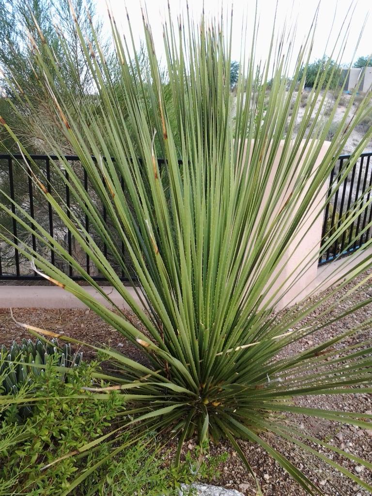 arizona yucca desert cactus plant
