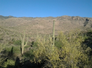 Saguaro Cactus in the desert