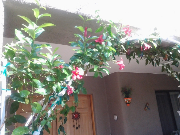 Mandevilla plant in pots