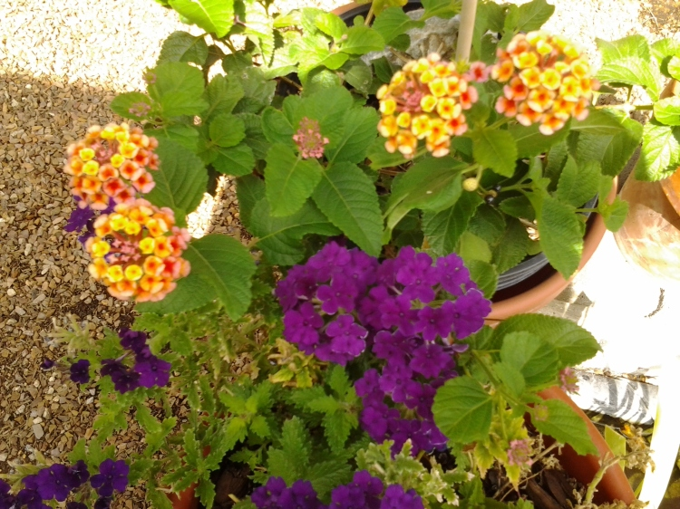 Lantana Verbena in containers