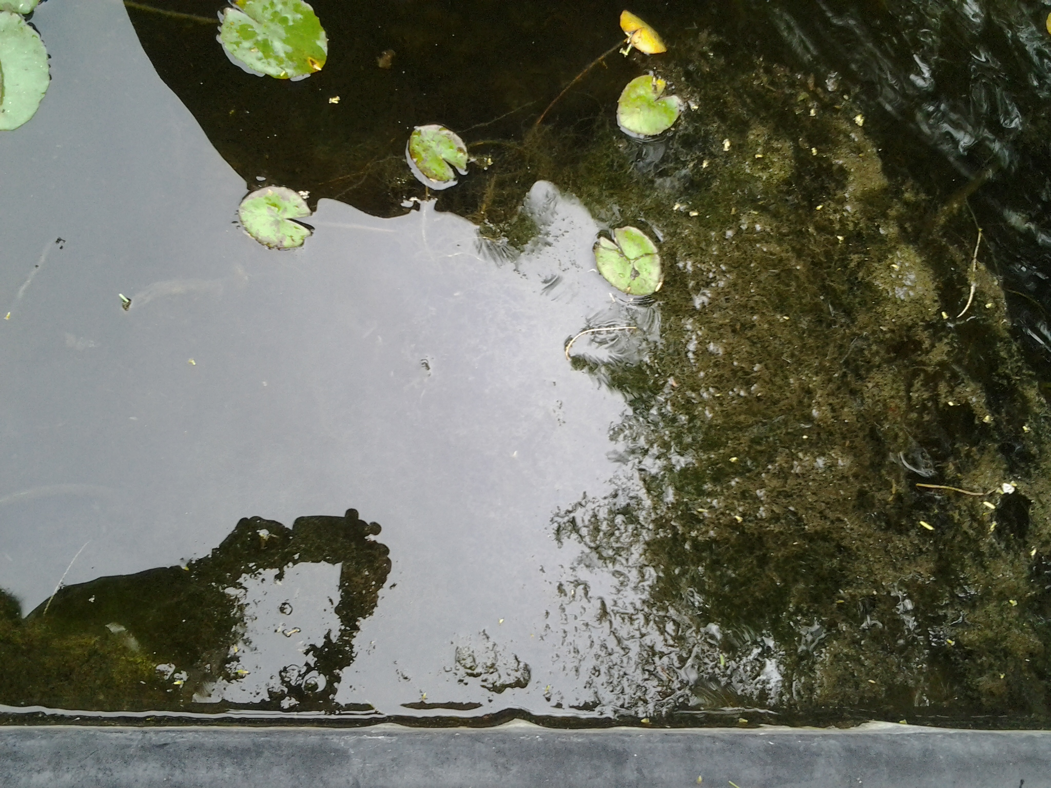 Yuk this slimy hair algae in my pond is floating the for Green water in pond