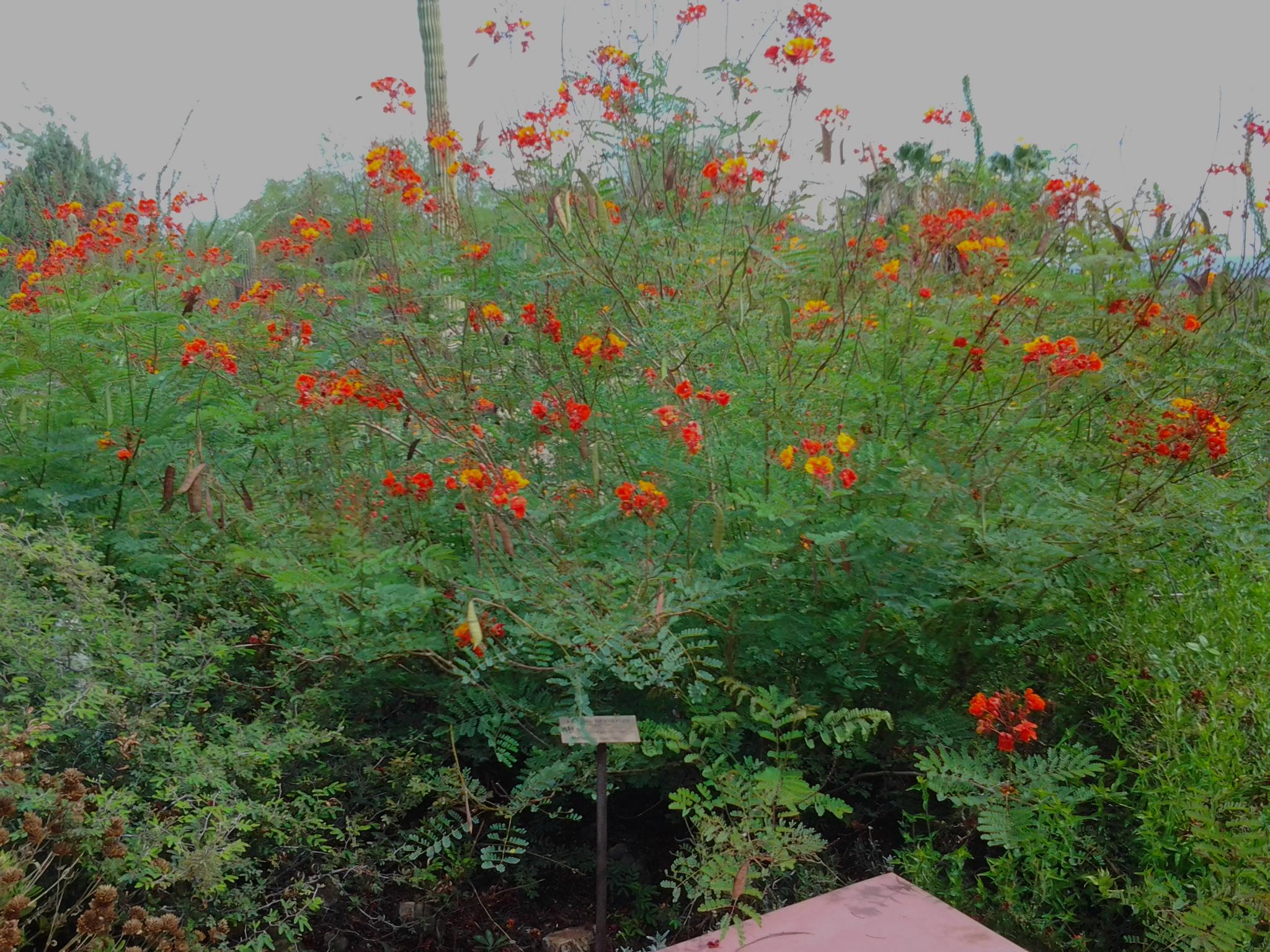 Pride Of Barbados Plant Tjs Garden