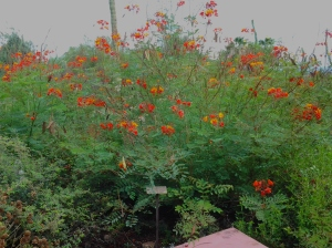 bushes with red orange yellow flowers