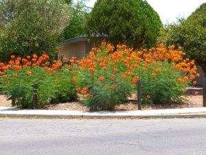 Phoenix Tucson bushes shrubs flowers