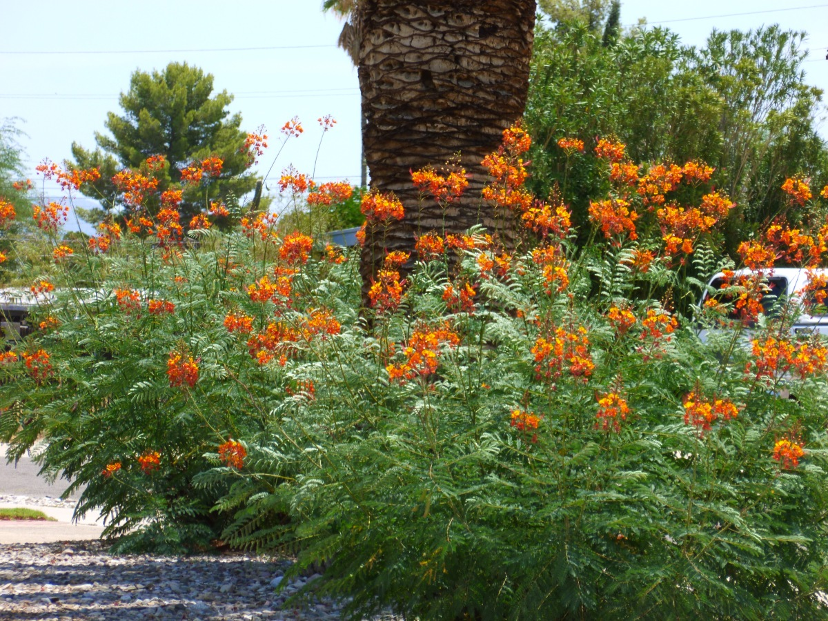 Texas bushes with orange flowers