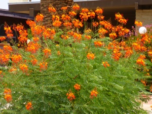 Texas bushes with orange red flowers