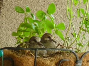 baby doves left in the nest