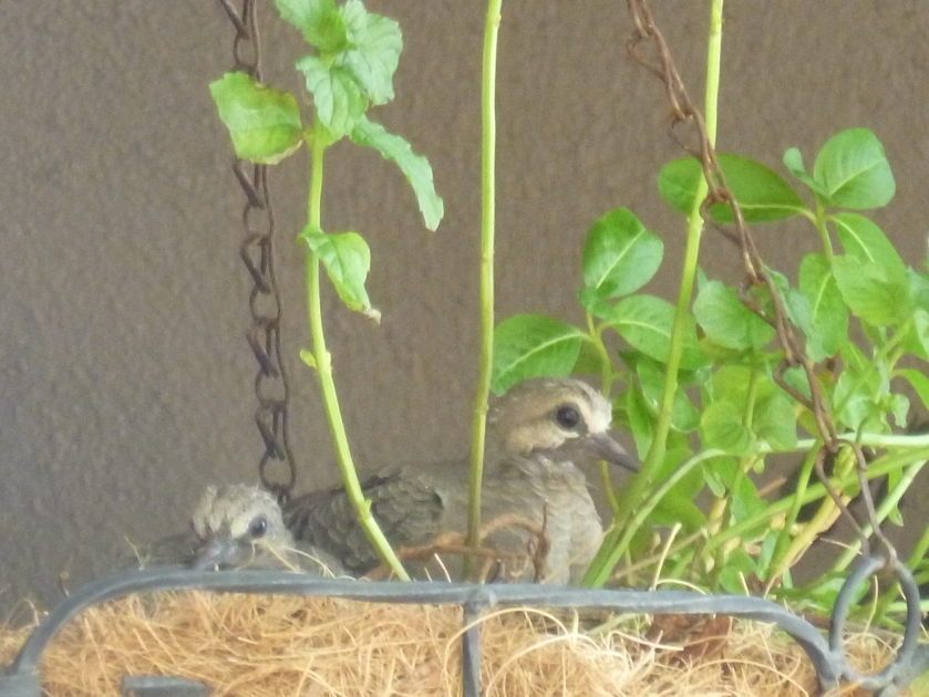 mourning dove baby in nest