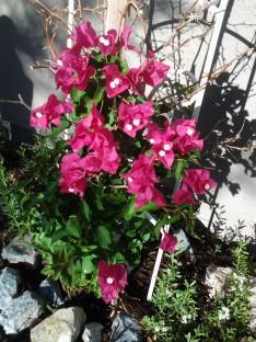 bougainvillea shrub