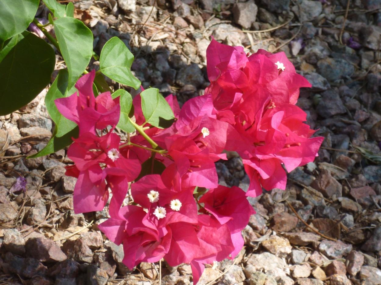Desert flowering vines
