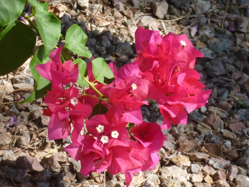 Bougainvillea in Arizona