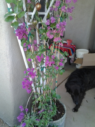 Bougainvillea growing in a pot