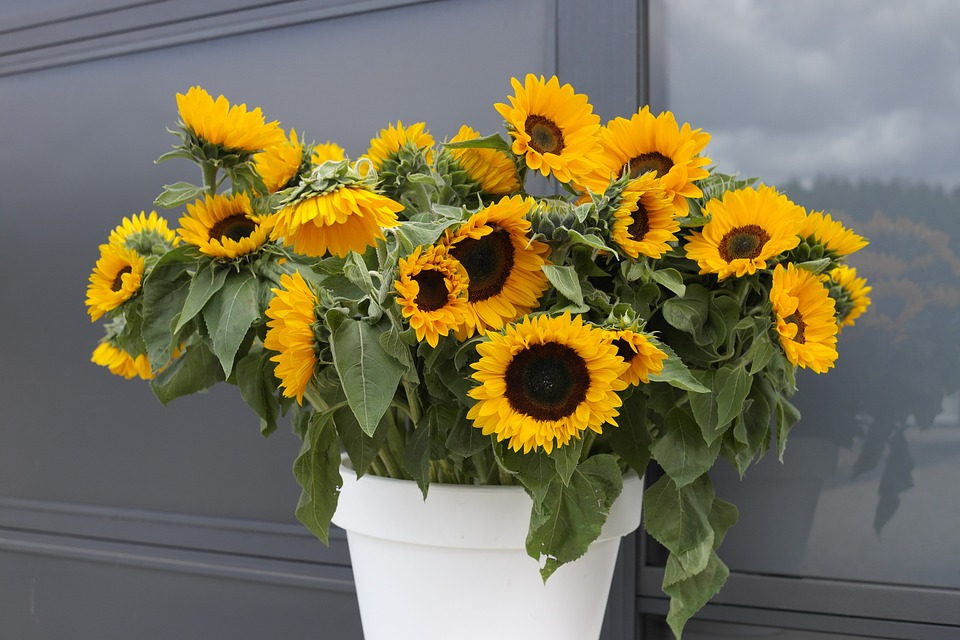 sunflowers in pots
