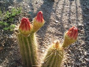 flowers on cactus Arizona