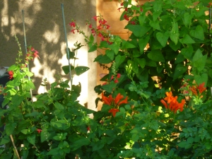 red salvia in container