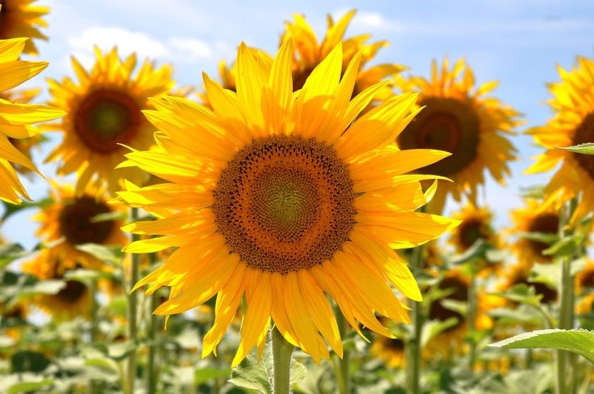 happy sunflower field