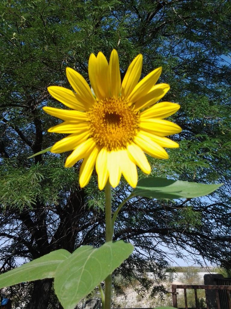 Sunflower in pots