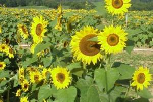 Sunflower variety