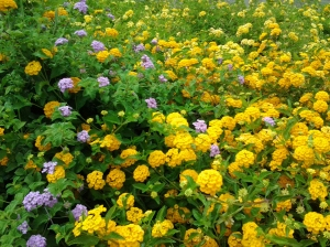Yellow Purple Trailing Lantana best desert plants