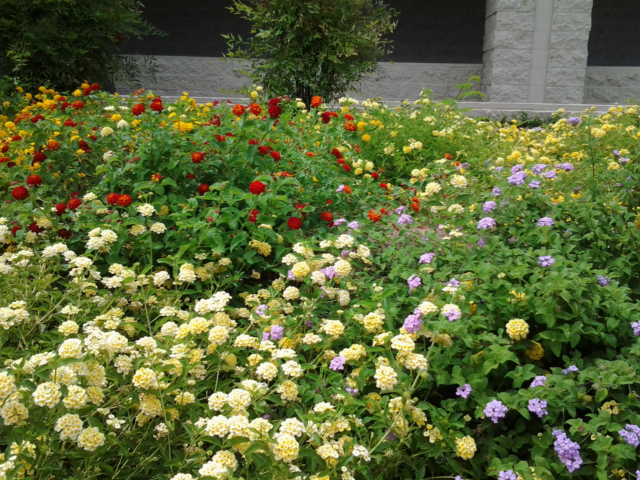 Lantana Is The Best Drought Tolerant Plant  U2013 Red  White
