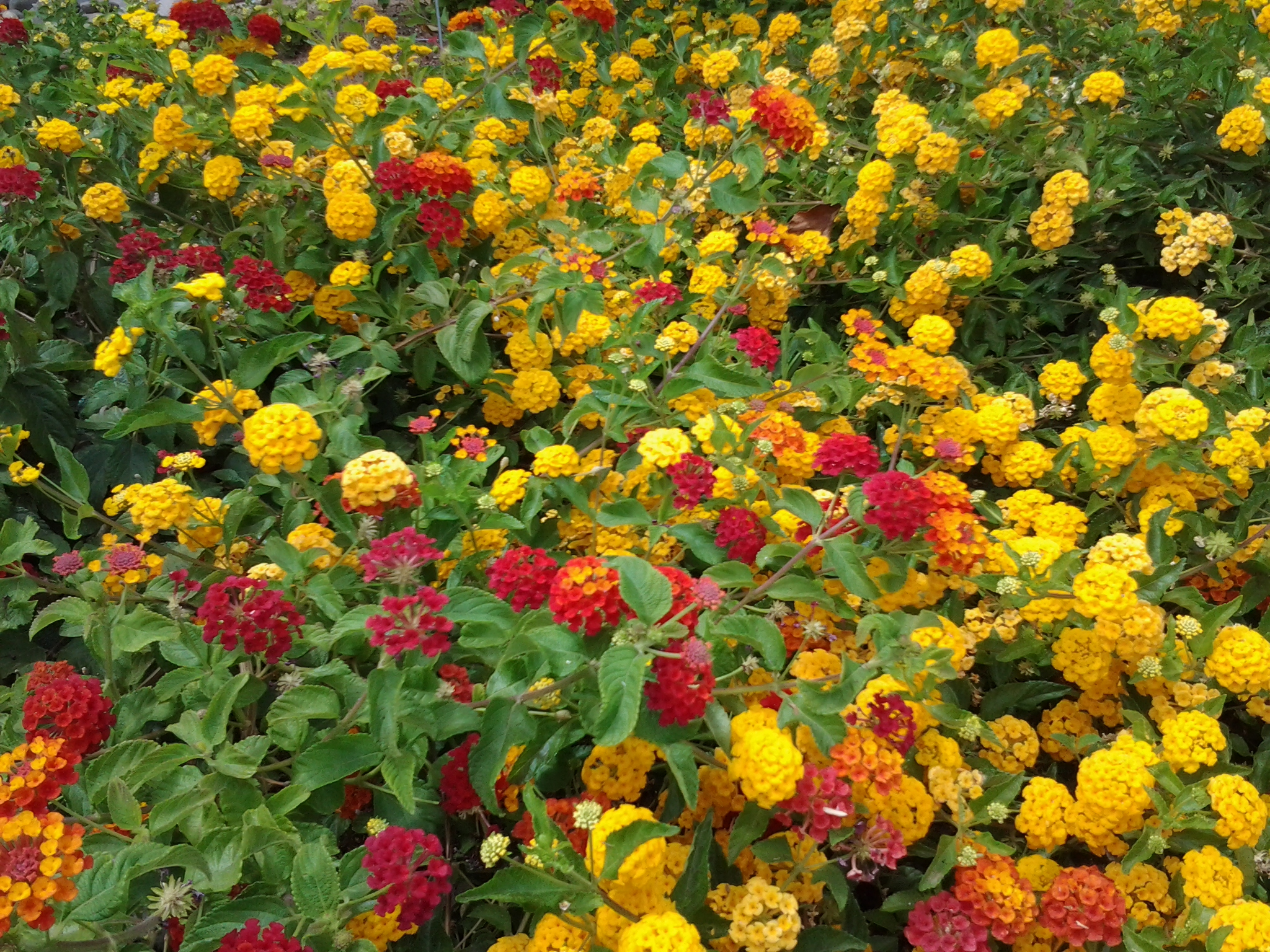 Lantana Is The Best Drought Tolerant Plant Red White Purple