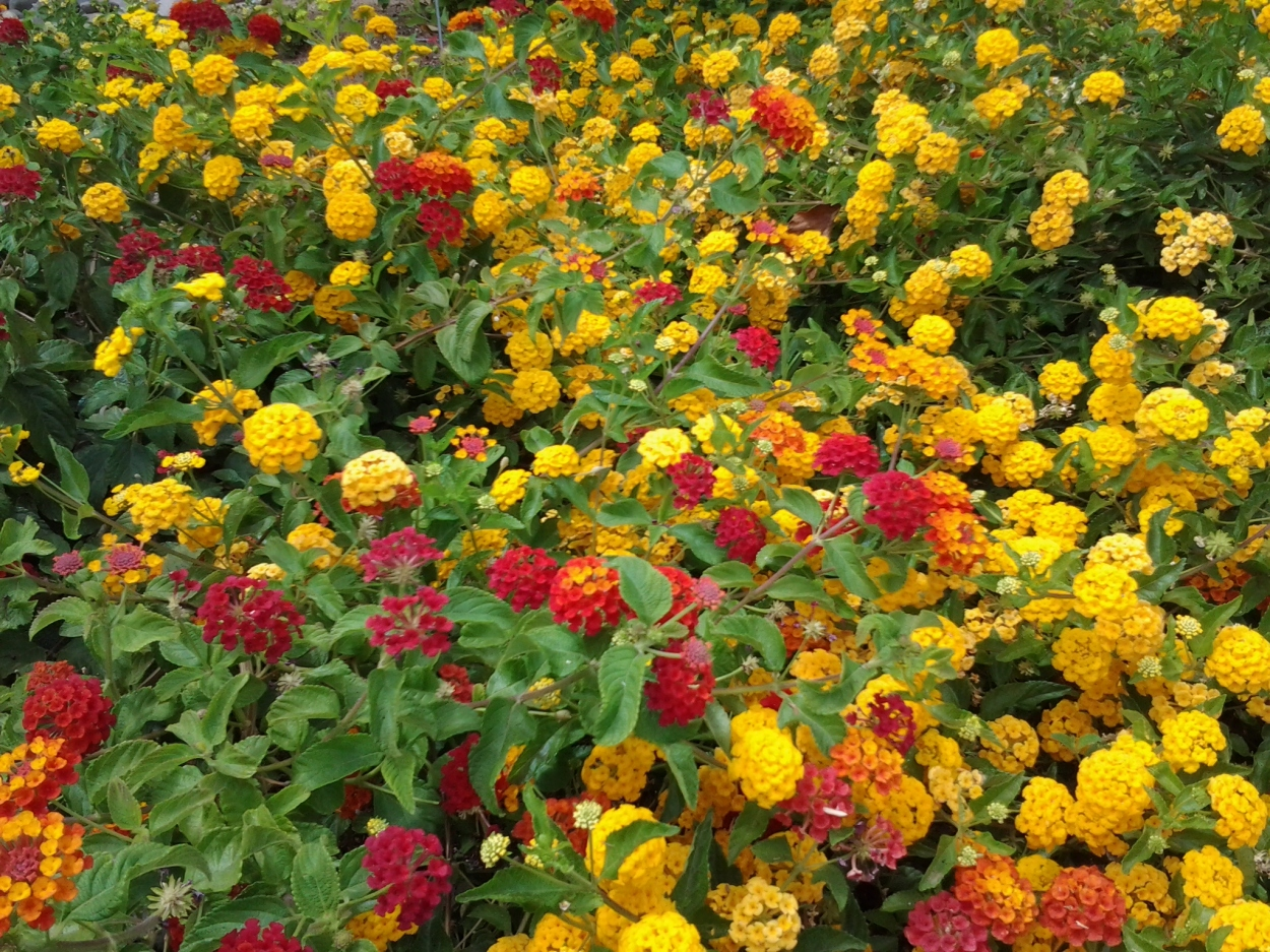 yellow and red flowers bush