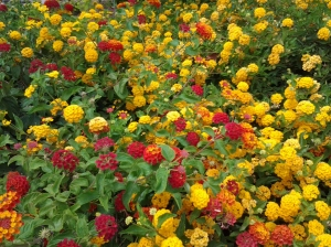 yellow and red lantana plants