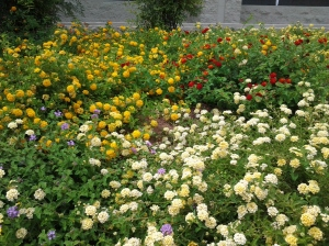 drought tolerant flowering lantana plants
