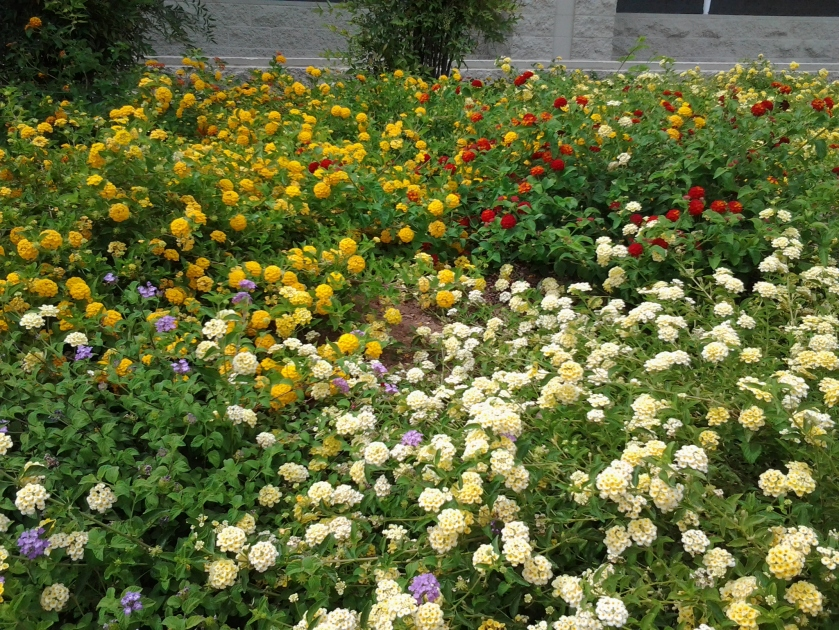 Best Drought tolerant plants, Lantana varieties