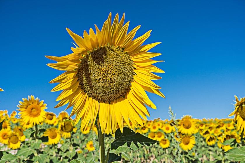 species of sunflowers