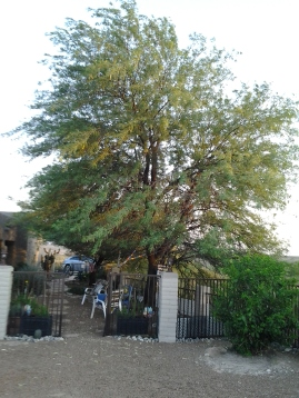 huge mesquite shade tree