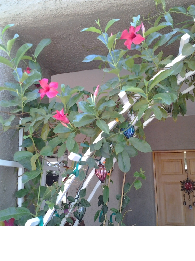 Trellis by door for Mandevilla Vines, Bougainvilla