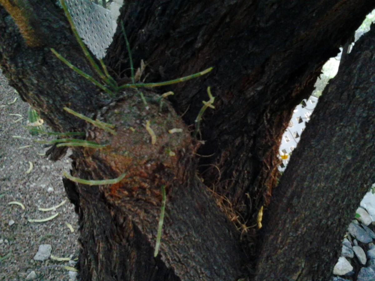 Diseases of trees – mistletoe growing on a tree – infected Mesquite trees