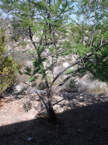 Mesquite Tree Arizona