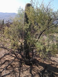 nursing tree for saguaro cactus