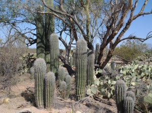 nursing trees for saguaros