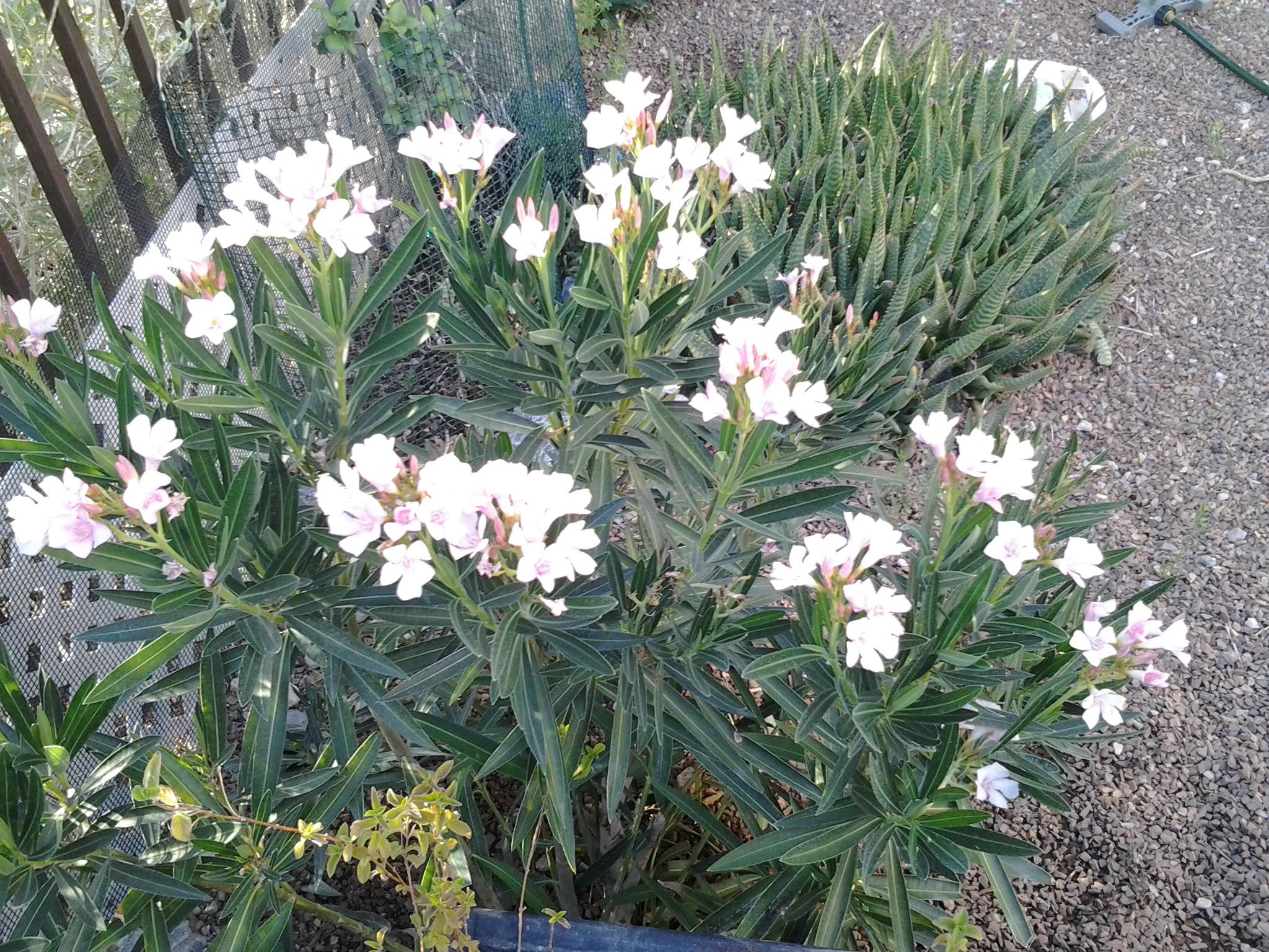 oleander | Tj's Garden