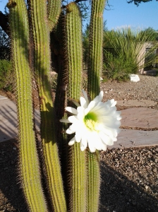 cactus bloom / flowers