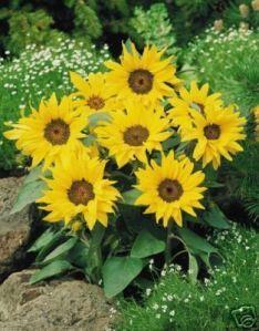 Pacino dwarf sunflower