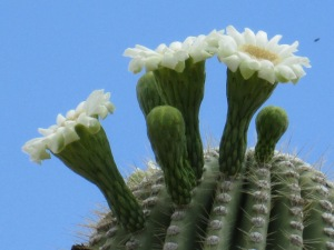 saguaro cactus white flowers in bloom