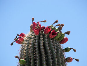 pollinated Saguaro Cactus red fruit