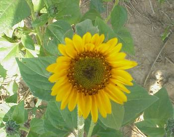 sunflower species