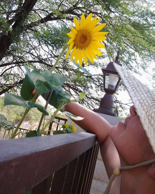 sunflower in Arizona