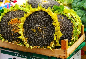 sunflowers ready to harvest