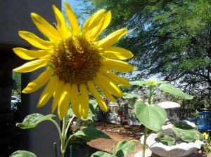 sunflower in a pot