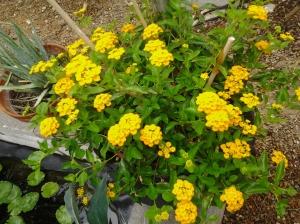 xeriscape flowering garden plants